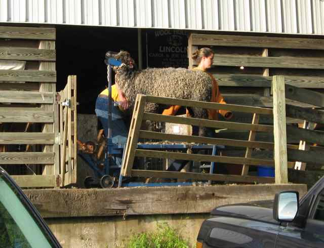Maryland-sheep_2262