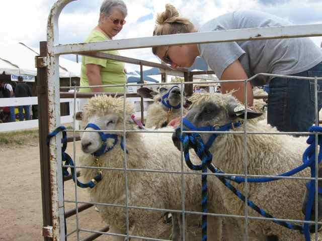 Sheep_2447