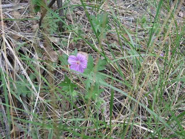 Wild-geranium_2514