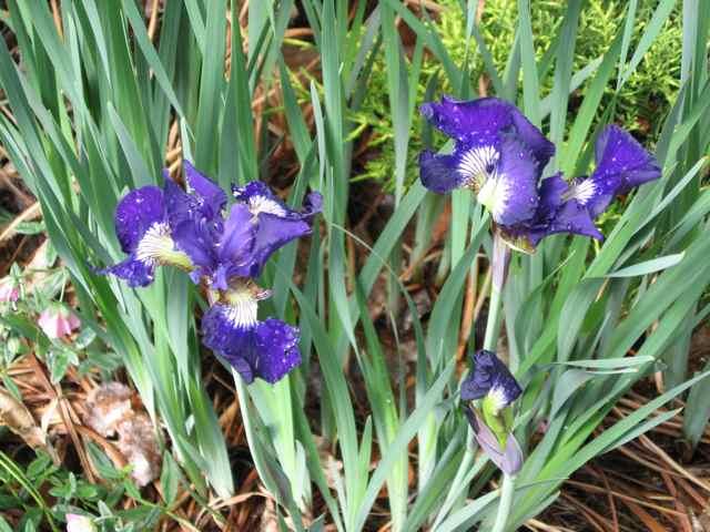 Flowers2-iris_2418