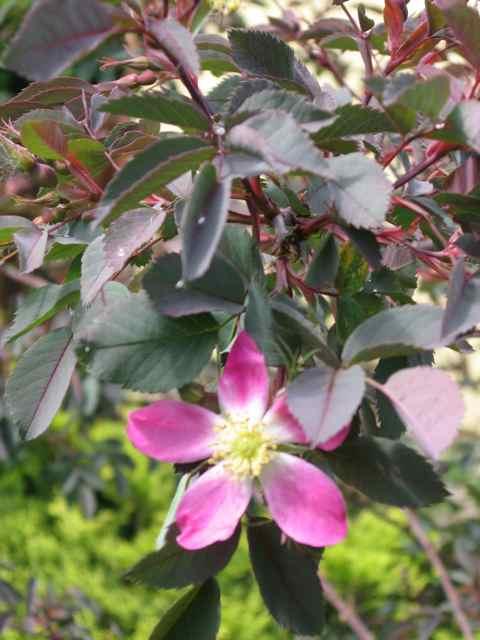 Flowers3-rose1_2421