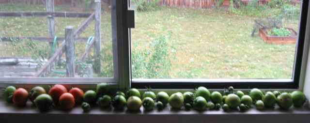 Tomatoes_3287