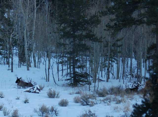 100223-Moose-bedding-web