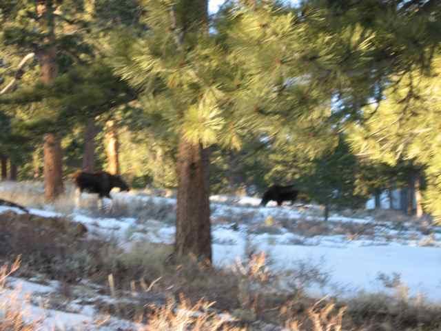 2-moose_5245