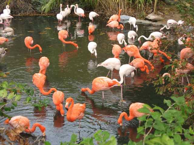 Flamingos_6930