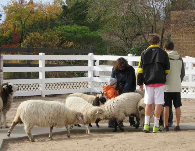 Sheep_6963