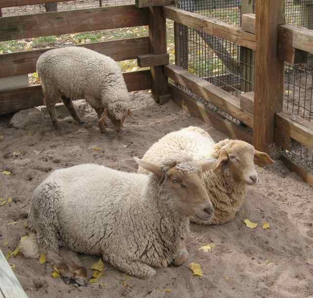 Sheep-Tunis_6942
