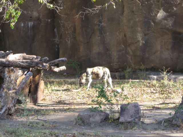 Hunting-dog_7038