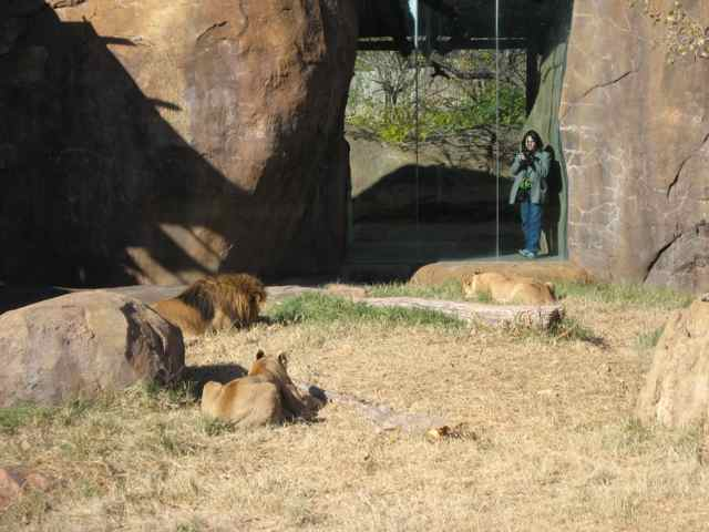 Lions_7044