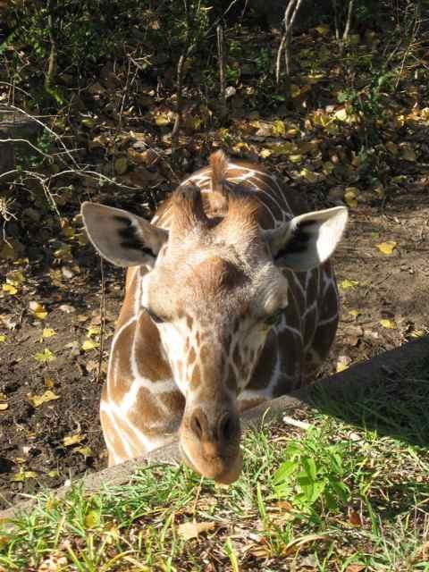 Giraffe_7034