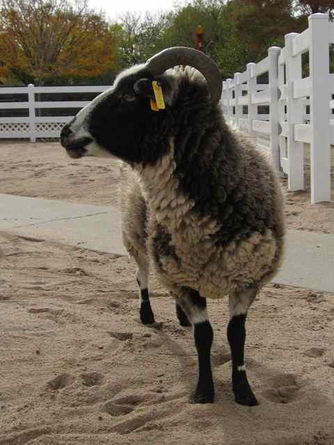 Sheep-Jacob_6945