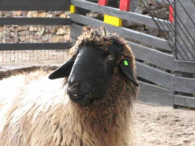 Sheep-Karakul_6971