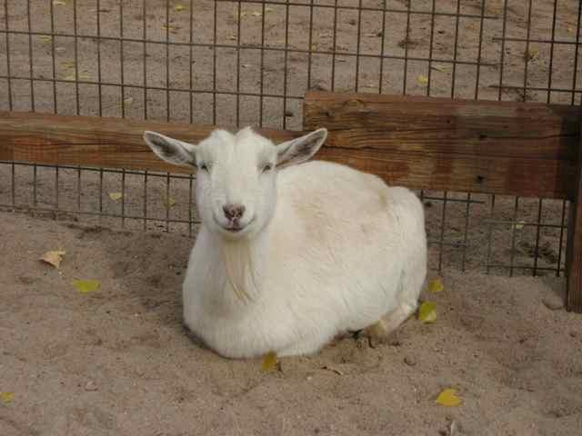 Goat_6936