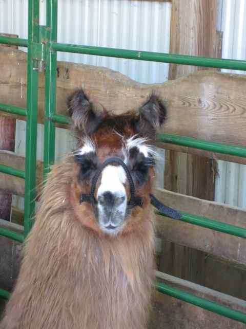 Llama_0282