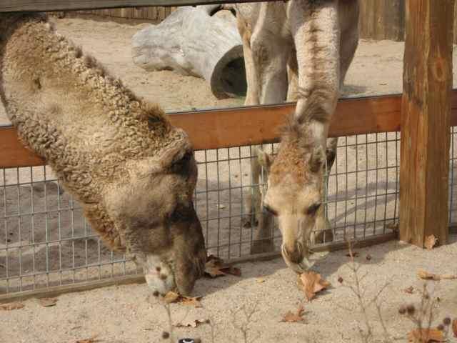 Camels_6968