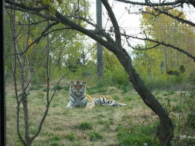 Tiger_7028