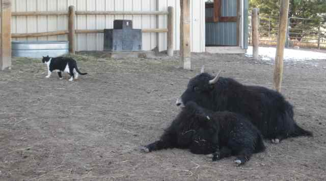 13-yaks-and-cat_0714