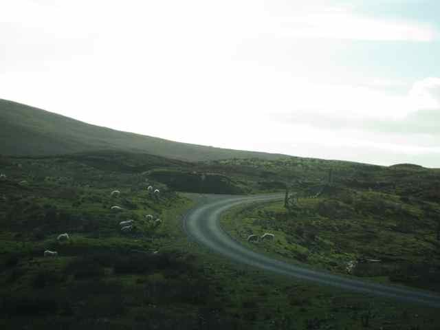 63-Shetland-sheep_4787