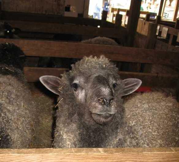 Sheepmodweb_0908