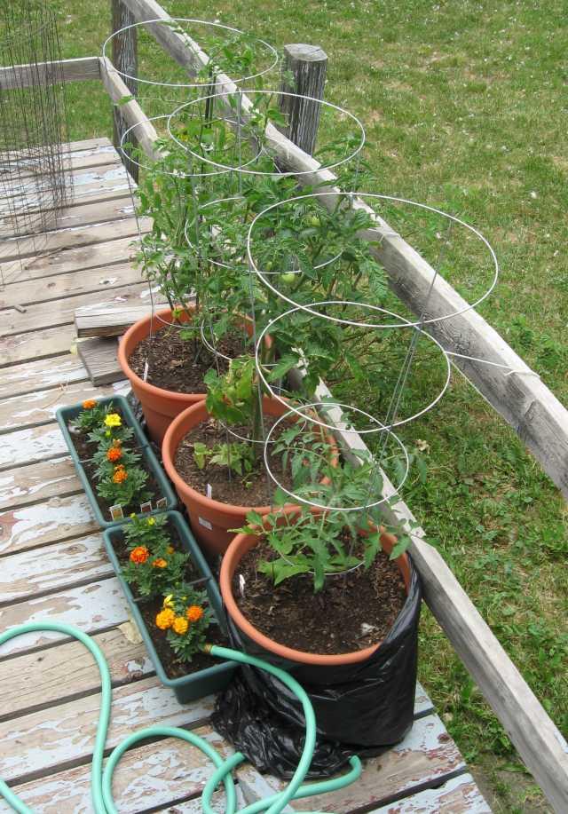 Tomatoes_1090_2